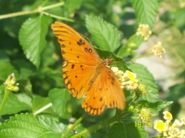 Butterfly Enjoying the Lantana