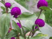 Purple Pom Pom Flowers