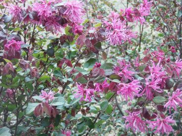 Chinese Fringe Shrubs